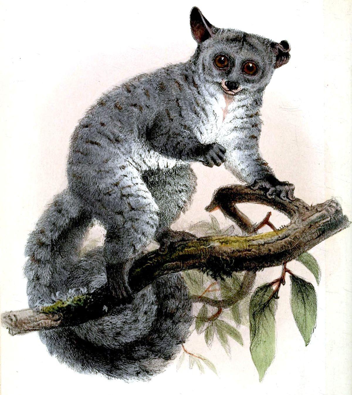 Silvery greater galago - Wikipedia