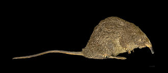 Desman - Image: Galemys pyrenaicus MHNT.INS.29