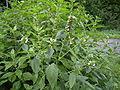 Galeopsis tetrahit plant1.jpg