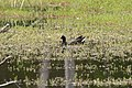 Gallinula tenebrosa (23455926350).jpg