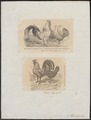 Gallus ferrugineus - 1700-1880 - Print - Iconographia Zoologica - Special Collections University of Amsterdam - UBA01 IZ17000117.tif