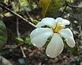 Gardenia gummifera 01.JPG