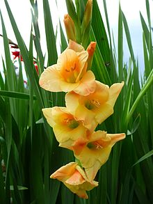 Gladiolus Wikipedia