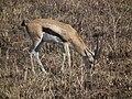 Gazella thomsonii Thomsons Gazelle in Tanzania 2781 Nevit.jpg