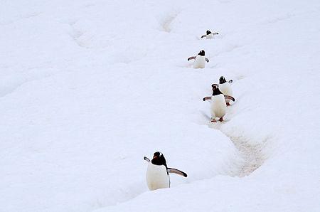 Gentoo Penguin AdF Remix.jpg
