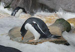 Gentoo Penguins (Pygoscelis papua) at Kelly Ta...