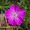 Geranium-sanguineum d.j.b 02.jpg