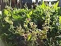 Geranium dissectum sl41.jpg