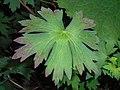 Geranium wlassovianum 2017-06-25 3220.jpg