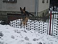 German shepherd dog in action.JPG