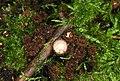 Gestreifter Teuerling Cyathus striatus pic2.jpg