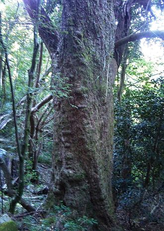 Olinia ventosa - Trunk of a large Olinia ventosa tree, growing in an indigenous forest on Table Mountain.