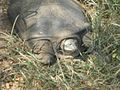 Giant Turtle in Ranthambore National Park, Ranthambore, Rajasthan.jpg