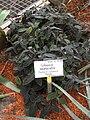 Gibasis oaxacana - Berlin Botanical Garden - IMG 8669.JPG