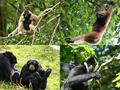 Gibbon collage.png