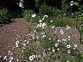 Gilia tricolor 067.jpg