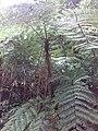 Ginihota Tree at Sinharaja Rain Forest.jpg