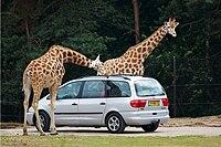 Giraffa camelopardalis -Safaripark Beekse Bergen-11July2009.jpg
