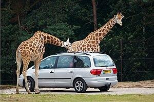Safari park - Giraffes at the Safaripark Beekse Bergen, Netherlands