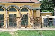 Giraffes at Tiergarten Schönbrunn in Vienna, the former Habsburg menagerie.