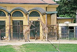 Giraffa camelopardalis Schoenbrunn01