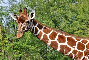 Neck - Image: Giraffa camelopardalis reticulata qtl 1