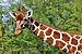 Giraffa camelopardalis reticulata qtl1.jpg
