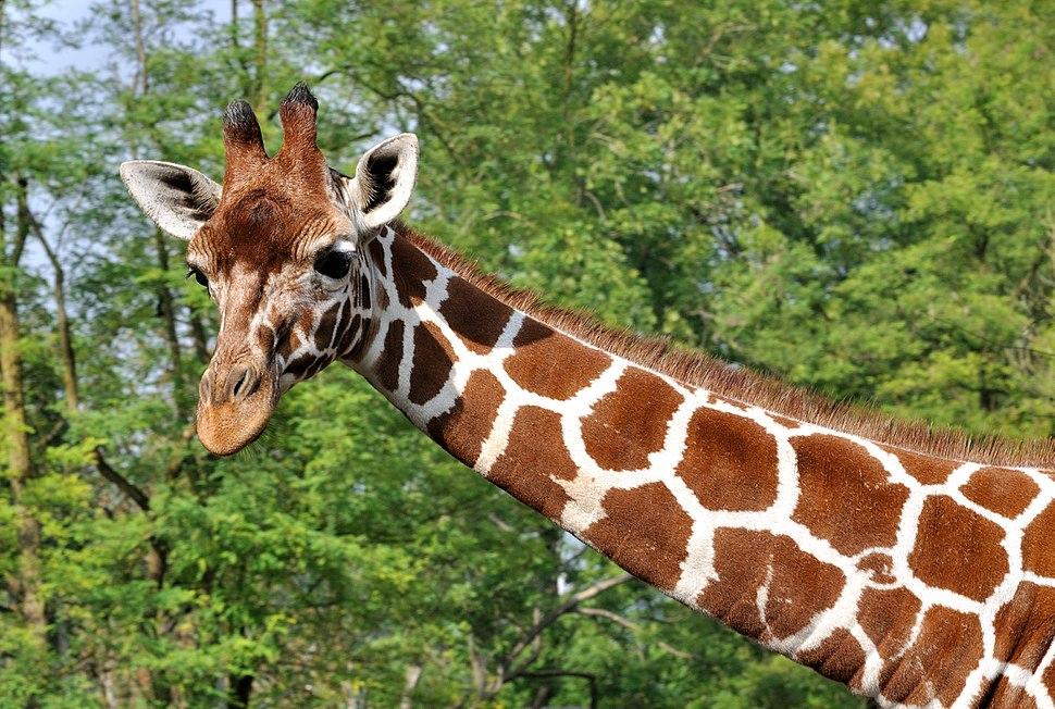Giraffa camelopardalis reticulata qtl1