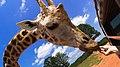 Giraffe (14456867).jpeg