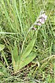 Gladiolus ecklonii (Iridaceae) (4782551522).jpg