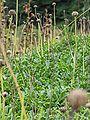 Globularia bellidifolia.JPG