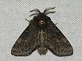 Gluphisia crenata - Dusky marbled brown - Волнистый шелкопряд тёмно-сёрый (40244939095).jpg