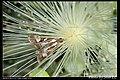 Glyphodes bivitralis (5967336772).jpg