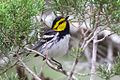 Golden-cheeked Warbler (male)-Kerr WMA-TX - 2015-05-24at13-39-5310 (21421229850).jpg