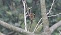 Golden-olive Woodpecker (Colaptes rubiginosus) (5783205547).jpg