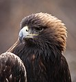 Golden Eagle (26830211949).jpg