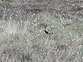 Golden Plover, Danebower Hollow - geograph.org.uk - 175860.jpg