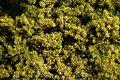 Golden Totara foliage.jpg