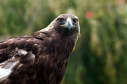Golden eagle IMG 3220.JPG