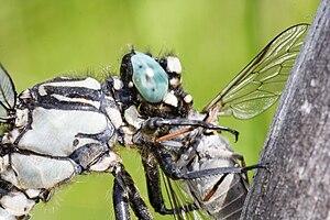 Odonata - Gomphus vulgatissimus with prey