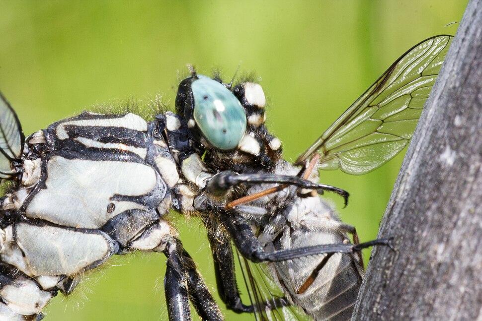 Gomphus vulgatissimus with a prey 002