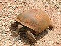 Gopherus polyphemus (Marshal Hedin).jpg