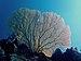 Gorgone de Mayotte.jpg