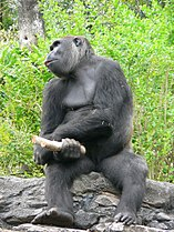 Gorilla gorilla gorilla2.jpg