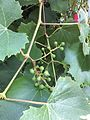 Grapes 4 2017-06-08.jpg