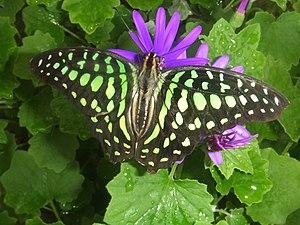 Lepidoptera in the 10th edition of Systema Naturae - The name of Graphium agamemnon (originally Papilio agamemnon) commemorates Agamemnon.