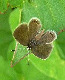 Grass Jewel (Chilades trochylus) Upperside. At Yavatmal, Maharashtra..jpg