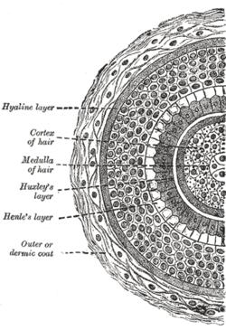 Hair Follicle Cross Section
