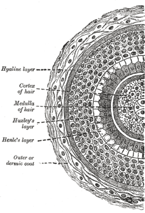 Transverse section of hair follicle