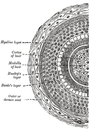 Piel de los mamíferos - Wikipedia, la enciclopedia libre